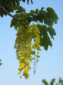 Gloden Shower Tree Blossoms