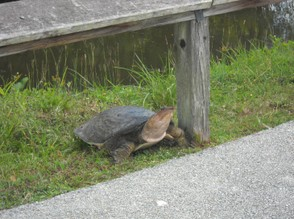 Mother Turtle reaches the Top of the Bank