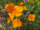 California Poppies Photo by Kathy McGraw