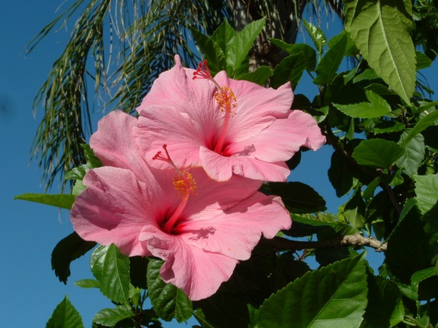 Pretty Pink Hibiscus Duo