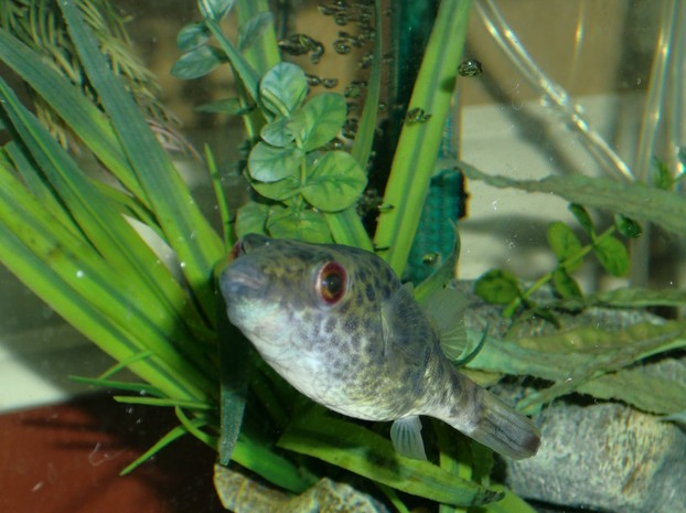 Keeping freshwater pufferfish as pets for Freshwater puffer fish care
