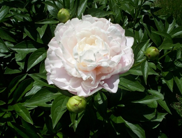 White Peony Flower Bloom 1