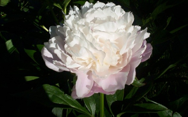 White Peony Flower Bloom 3