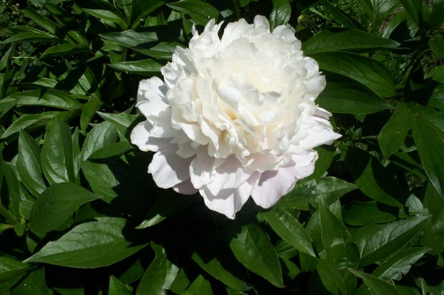 White Peony Flower Bloom 2