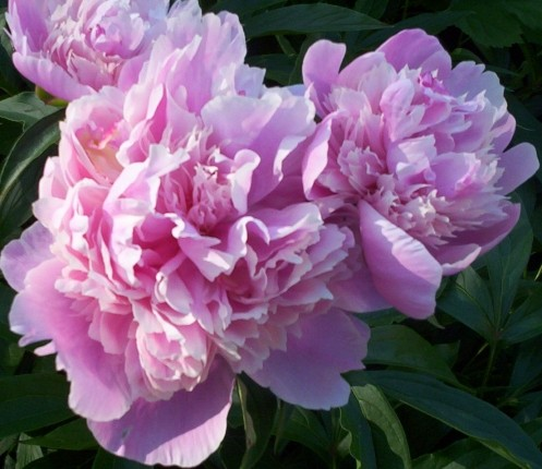 Pink Peony Flower Blooms 2