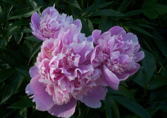 Pink Peony Flower Blooms 1