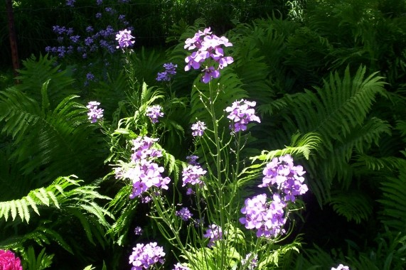 Phlox Flower Bloom 1