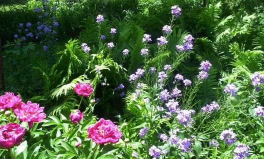 Phlox and Peony Flower Blooms