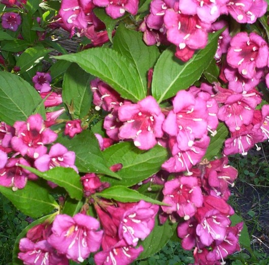 Red Weigela Flower Bloom 1