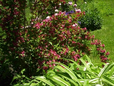 Red Weigela Flower Bloom 3