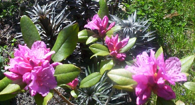Rhododendron Flower Bloom 1