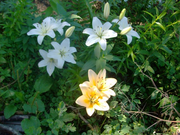 Lilies at Laughing Gnome Hollow