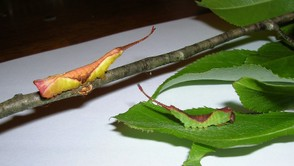 Furcula Moth Caterpillar