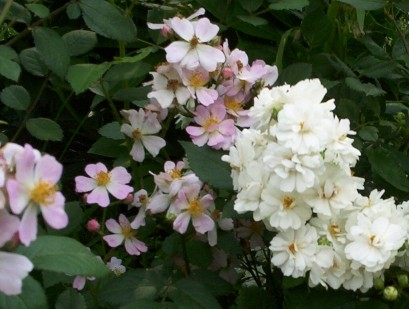 Miniature Pink and White Rose Blooms 1
