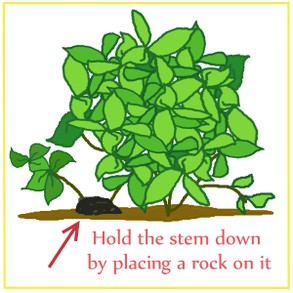 Hold the stem to the ground with a rock