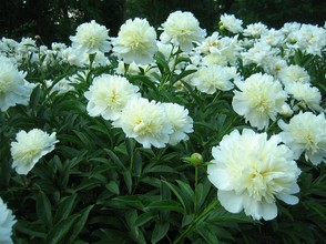 White Double Style Peony Flowers