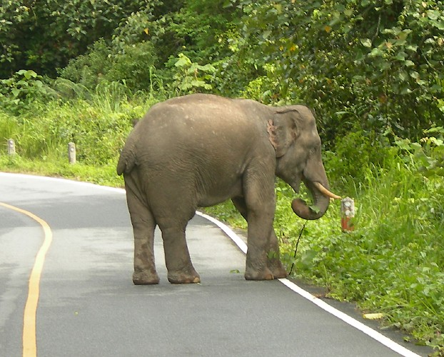 Asian Elephant Before Attack
