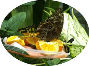 Butterfly Enjoying Juicy Fruit
