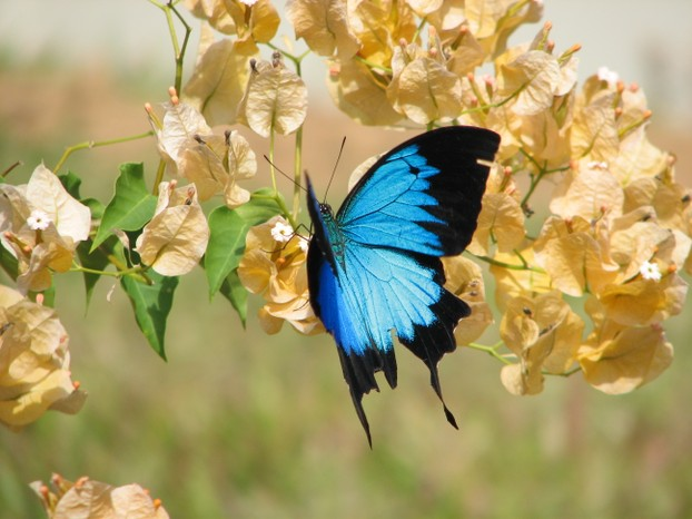 The Ulysses Butterfly resting on a flower