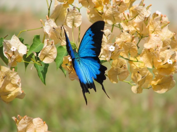 Ulysses Butterfly Attracting Ulys...