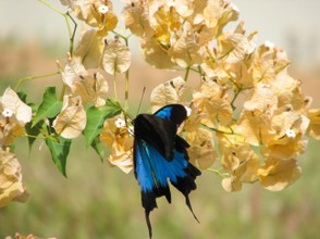 Ulysses Butterfly moving on yellow flower
