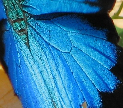 Ulysses Butterfly closeup of color