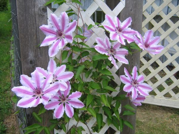 Nelly Moser clematis: the best flower display yet, and the vine reached the top of the trellis later on!