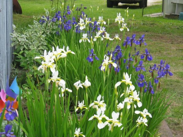 Iris growing in the bed directly in front of the house. It's dry, but they don't mind!
