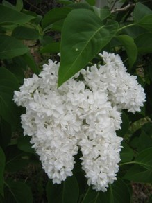 A spray of white lilac flowers.