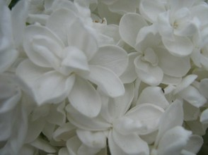 Super close-up of a white lilac spray