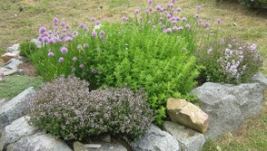 Thyme and chives in flower