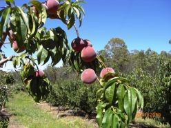 Areas like Stanthorpe grow delicious stone fruit.
