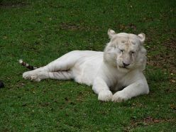 A white tiger at Dreamworld