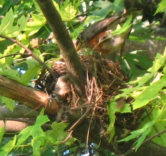 Close up of Robin's nest