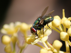 Closeup of a fly | First shots with my new Canon T3i