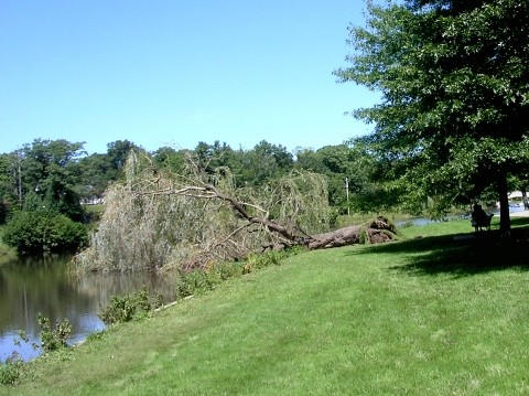 Falling Tree in the Park
