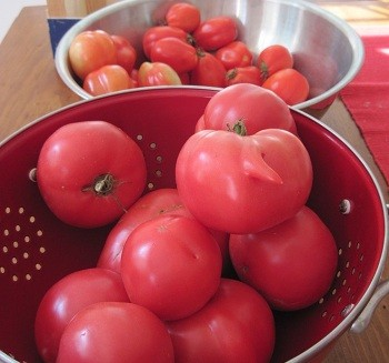 ripe tomatoes from small garden