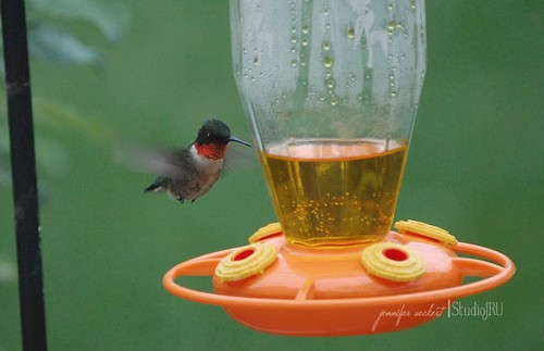 Hummingbird Coming to Drink