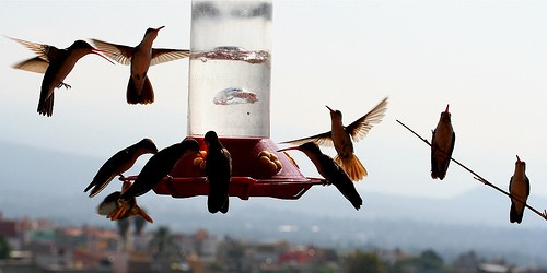 Hoards of Hummingbirds