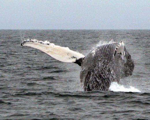 A whale on Cape Cod, as seen from one of the whale watches cruises that you can take from many towns in MA. Photo by Ric