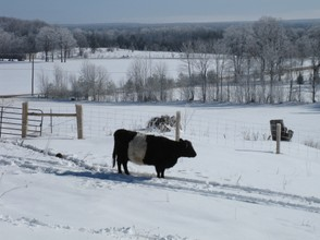 Belted Galloway Cows in the Snow