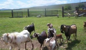 Homesteading and Homeschooling goats