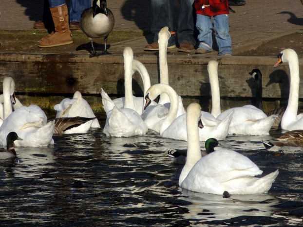 Feeding the birds ~ Kennet and  Avon Canal, Newbury