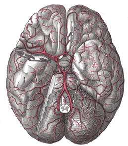 The blood vessels of the brain are fragile