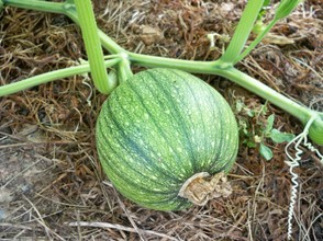 Pumpkin growing on vine