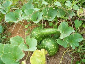 Hard Shell Gourds growing on vines