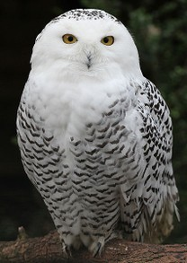 Female Snowy Owl (CC) pe_ha45