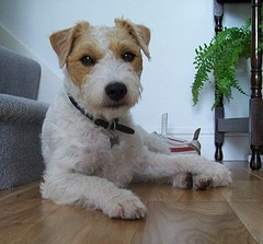 Parson's Jack Russell
