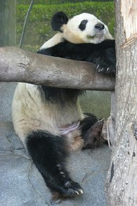The Memphis Zoo has Pandas