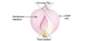 Anatomy of the onion bulb